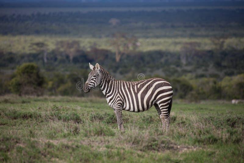 Równiny zebra na zielonej sawannie zdjęcie royalty free