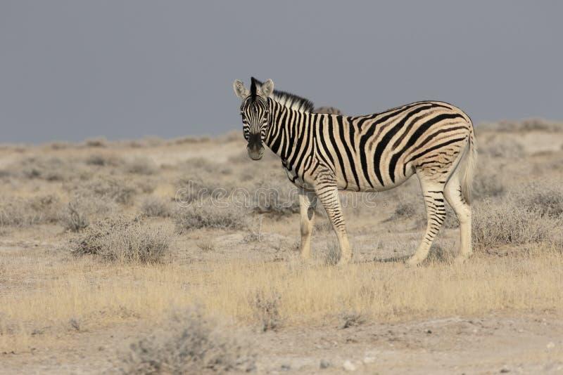 Równiny zebra, Pospolita zebra lub Burchells zebra, Equus kwaga zdjęcie stock