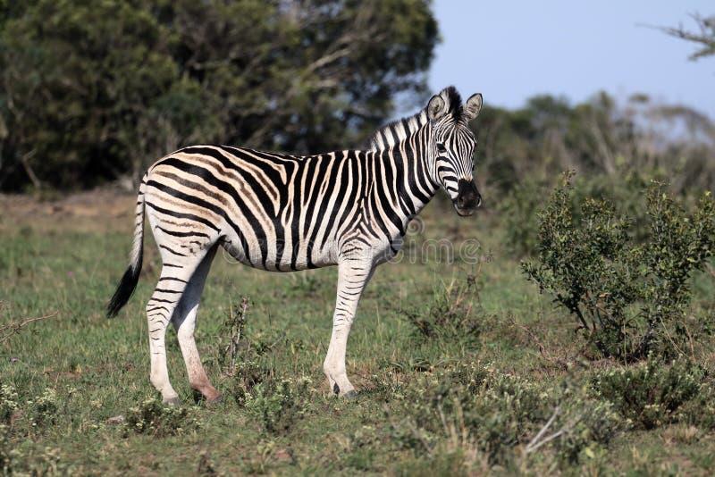 Równiny zebra, Pospolita zebra lub Burchells zebra, Equus kwaga zdjęcie royalty free