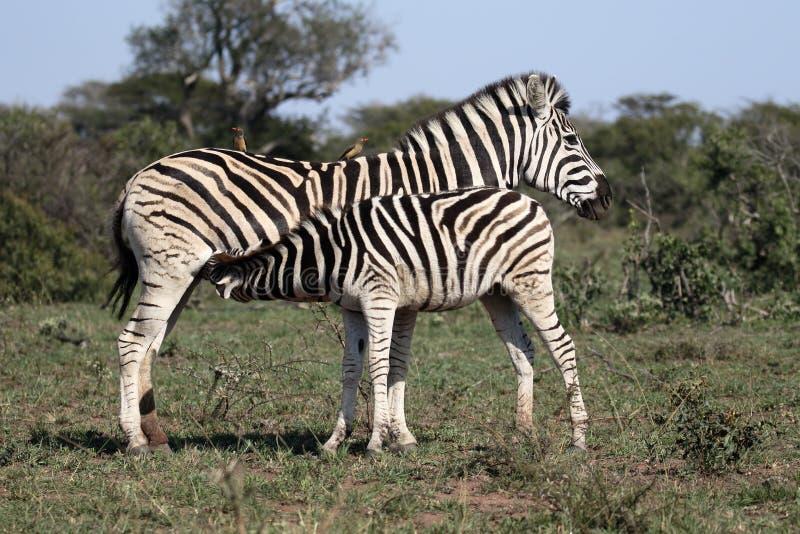 Równiny zebra, Pospolita zebra lub Burchells zebra, Equus kwaga obraz stock