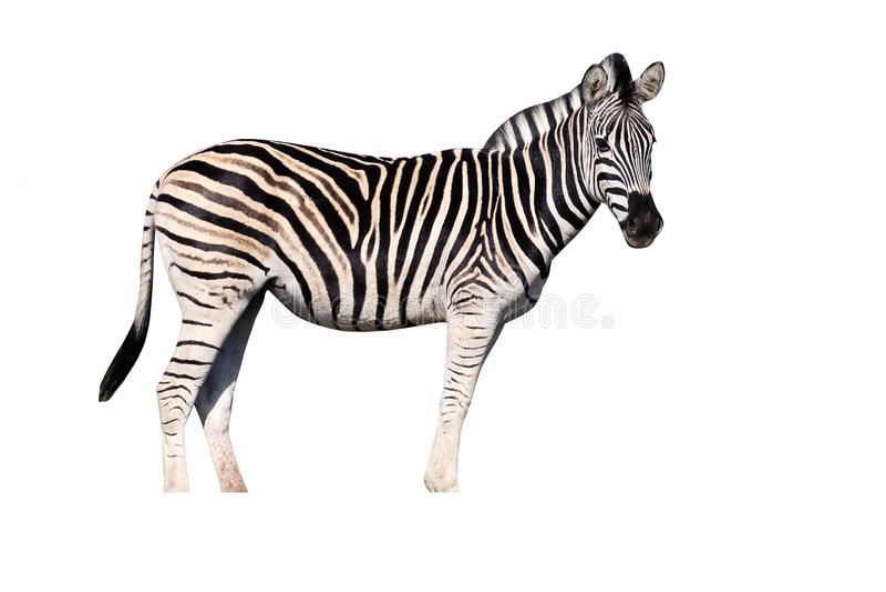 Równiny zebra, Pospolita zebra lub Burchells zebra, Equus kwaga obrazy stock
