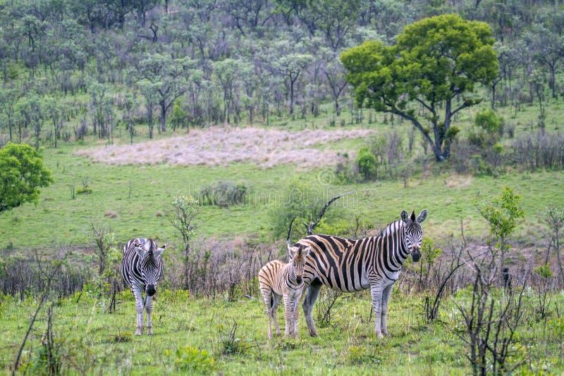 Równiny zebra w Kruger parku narodowym, Południowa Afryka fotografia royalty free