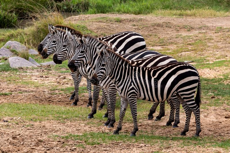 Równiny zebra w Masai Mara, Kenja, Afryka obrazy royalty free