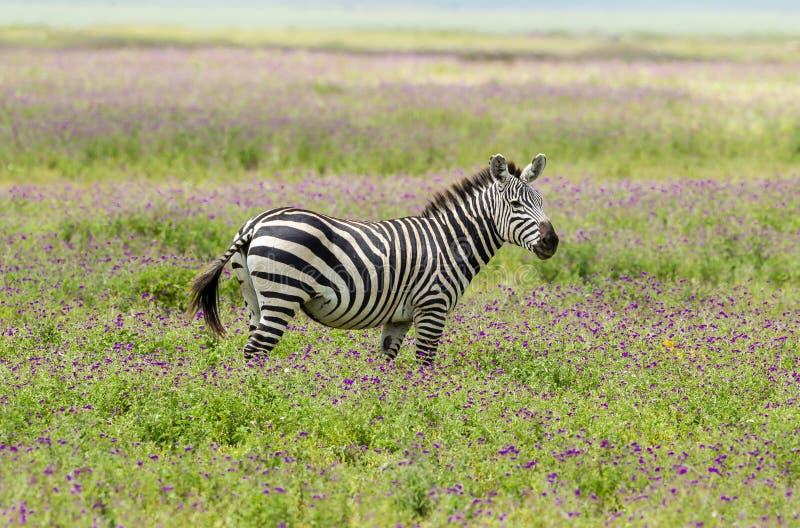 Równiny zebra w Ngorongoro krateru kalderze w purpurowych okwitnięciach obraz stock