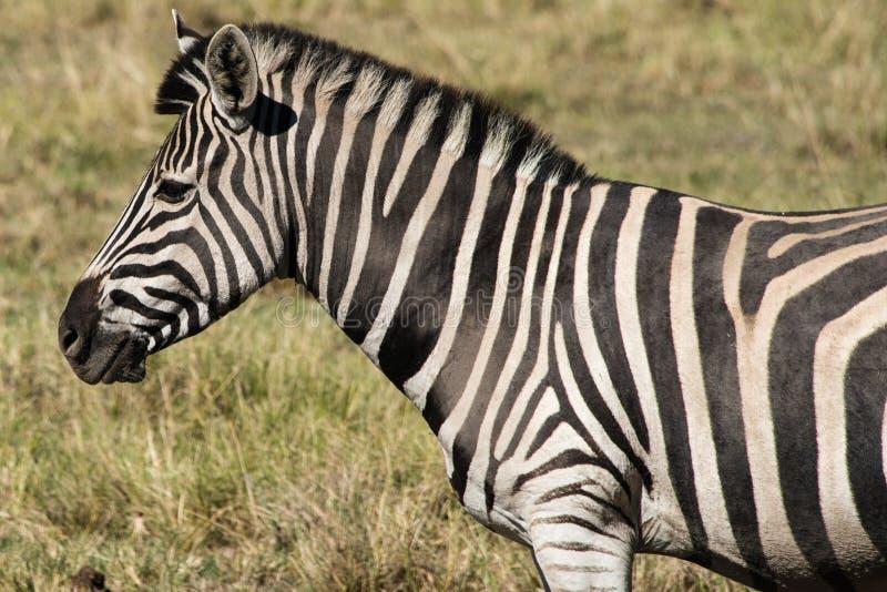 Równiny zebra w Południowa Afryka (Equus kwaga) fotografia royalty free