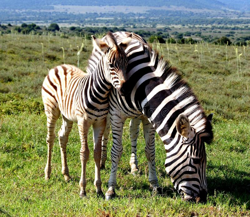 Równiny zebry źrebięcia cuddling klacz w Addo słonia parku narodowym blisko obrazy stock