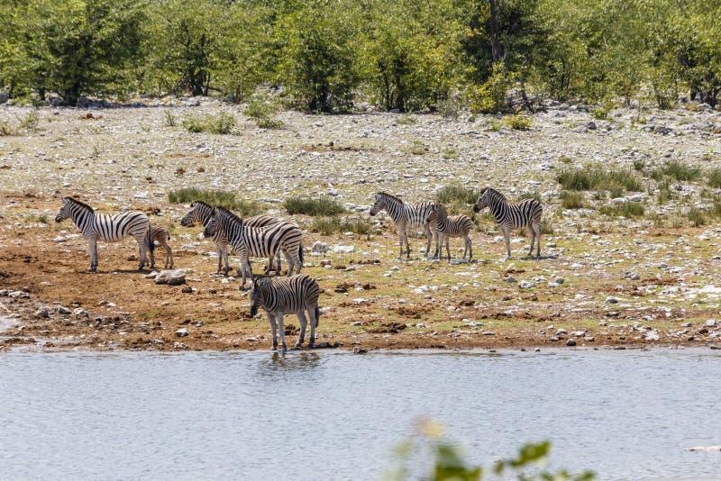 Równiny zebry Burchells zebra, Equus kwaga zdjęcia stock