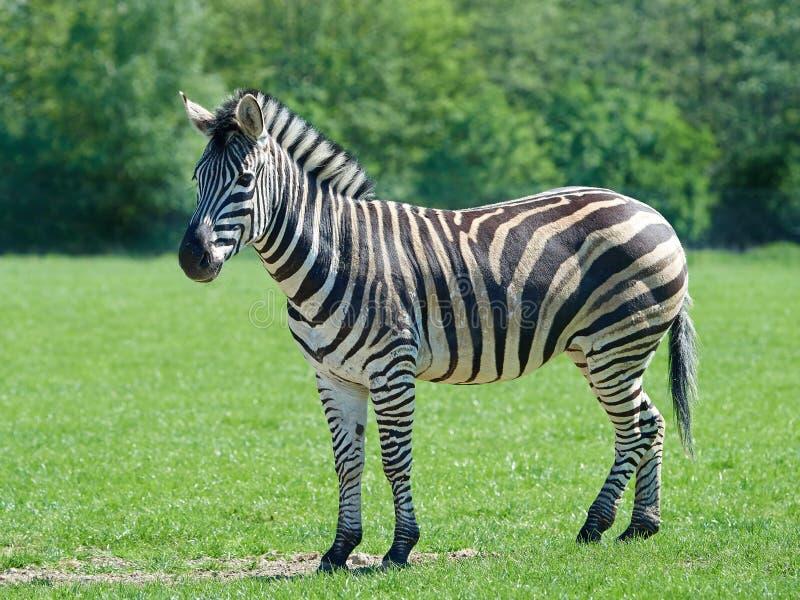 Równiny zebry Equus burchelli chapmani obrazy royalty free