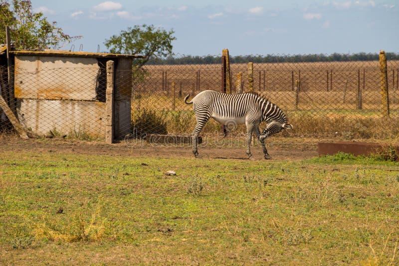 Równiny zebry Equus kwaga obraz stock