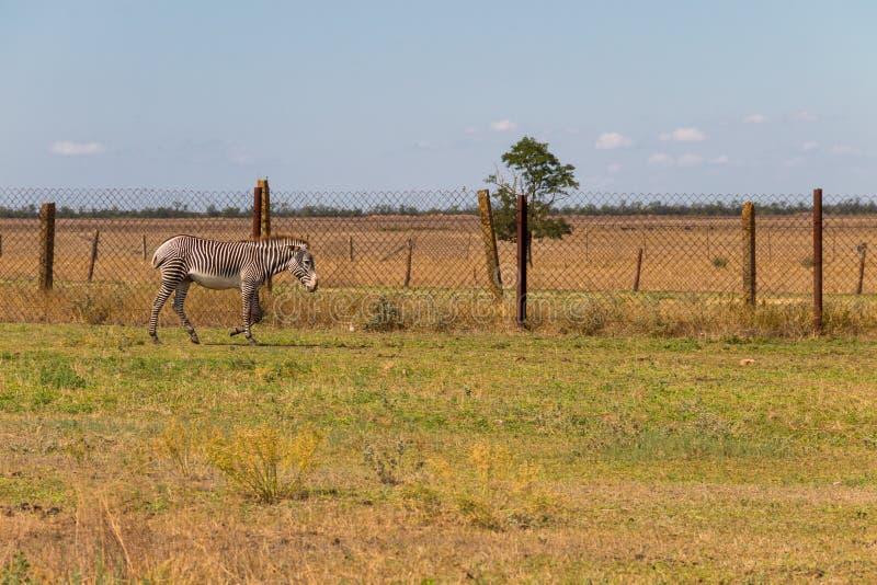 Równiny zebry Equus kwaga zdjęcie royalty free