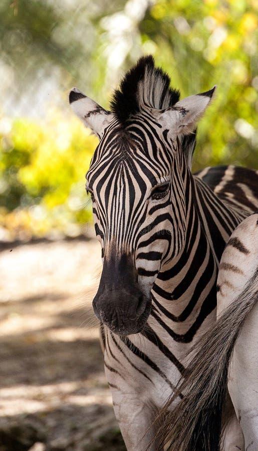 Równiny zebry Equus kwaga obraz royalty free