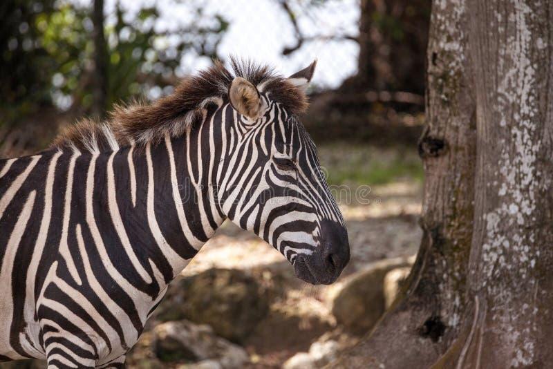 Równiny zebry Equus kwaga obrazy stock