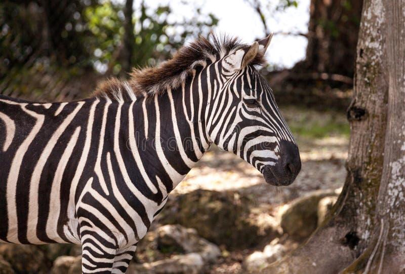 Równiny zebry Equus kwaga zdjęcie stock