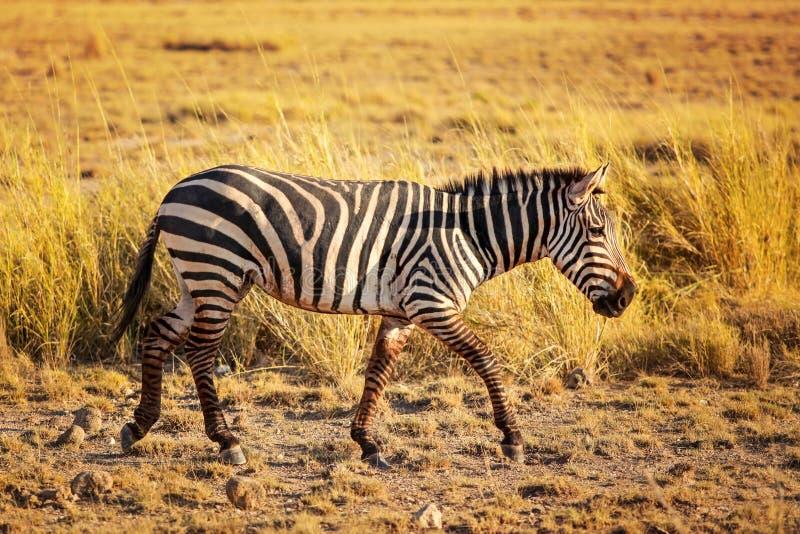 Równiny zebry Equus kwaga od strony zdjęcie stock