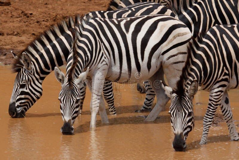 Równiny zebry Equus kwaga przy waterhole zdjęcia royalty free