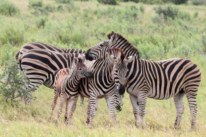 Równiny zebry Equus kwaga stado zdjęcia royalty free