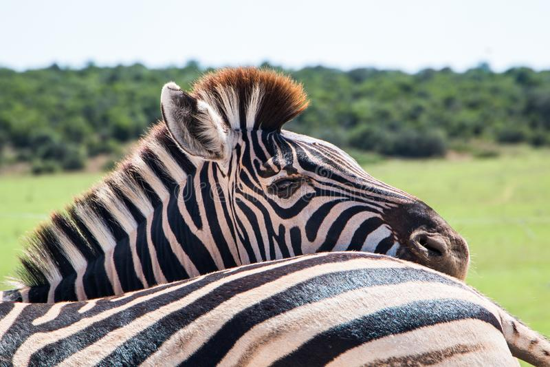 Równiny zebry Equus kwagi zwierzęta stoi blisko siebie obraz stock