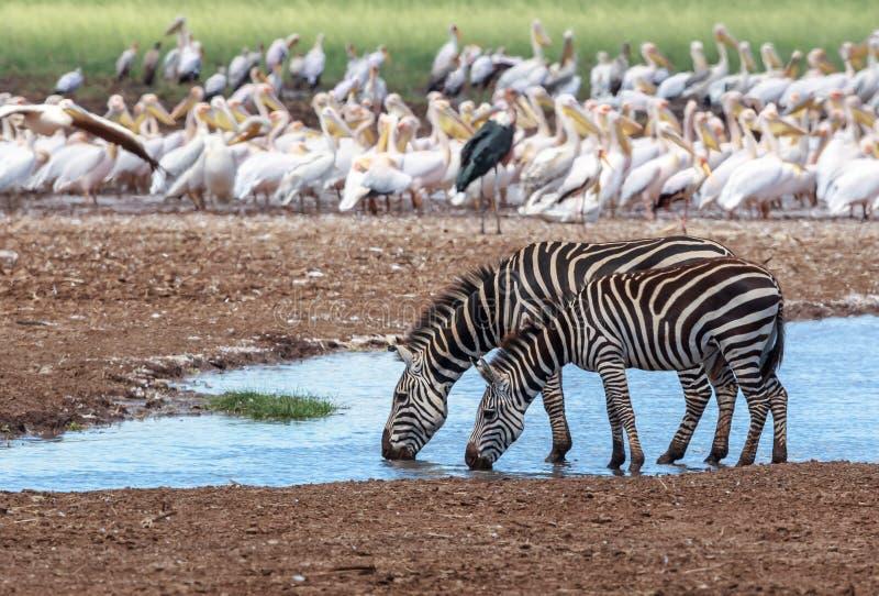 Równiny zebry para przy waterhole w Jeziornym Manyara zdjęcie royalty free