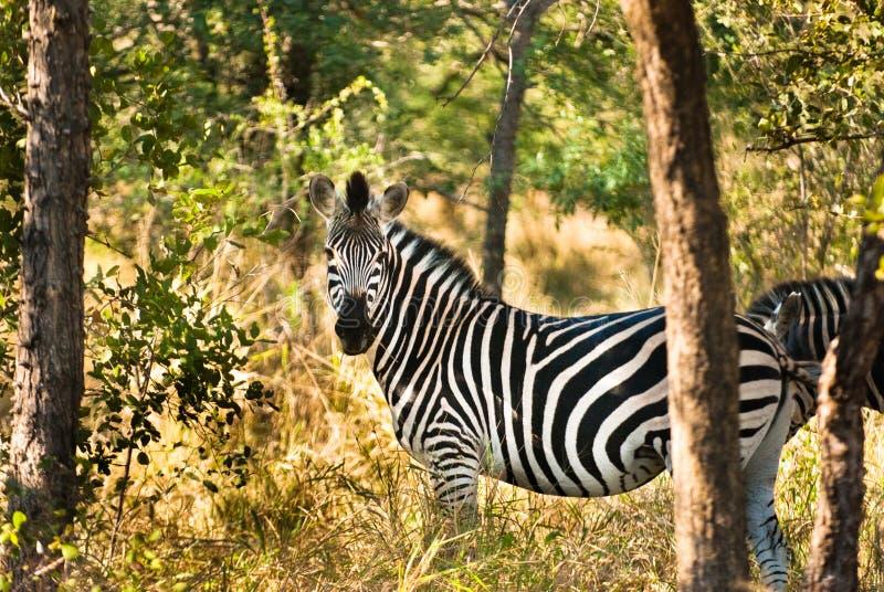 Równiny zebry profilowy widok (Equus kwaga) zdjęcia stock