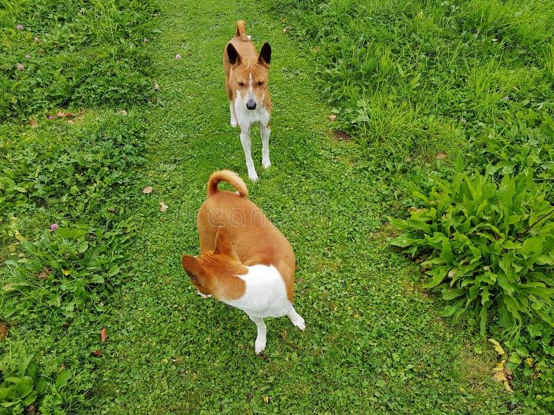 Rôdeur canin image stock