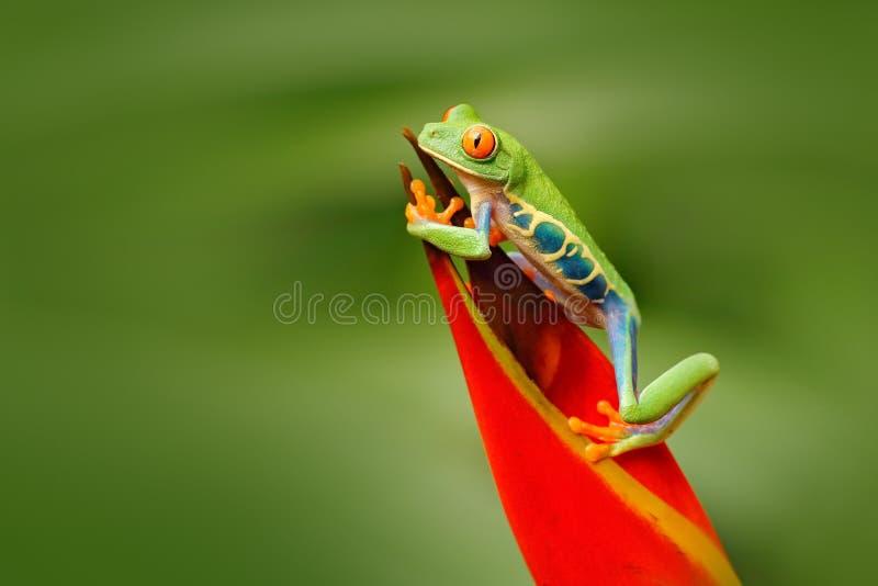 Rödögd trädgroda, Agalychnis callidryas, djur med stora röda ögon, i naturlivsmiljön, Costa Rica Groda i naturen Beauti arkivbild