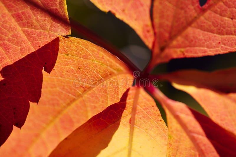 Röd åder för rött vinblad arkivfoto