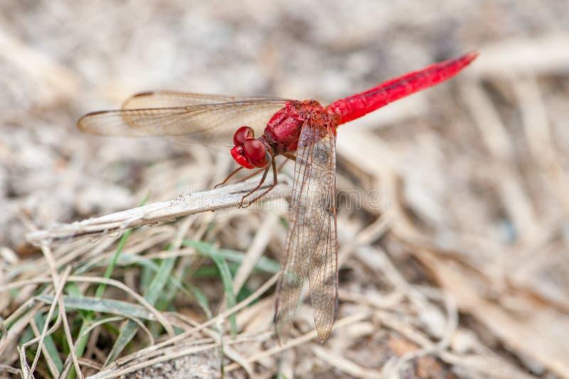 Röd-ådrad Dropwing slända arkivfoton