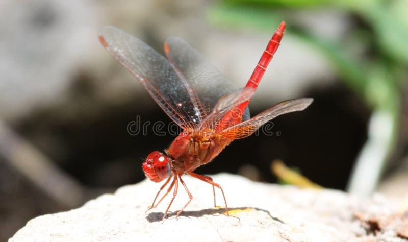 Röd-ådrad dropwing slända på en vagga med lyftta vingar arkivbild