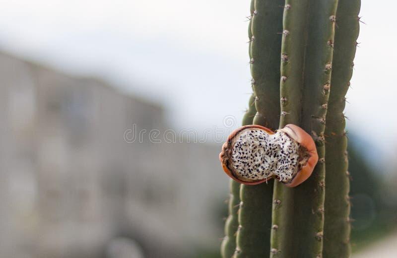 Röd öppen frukt för kaktus på växten fotografering för bildbyråer