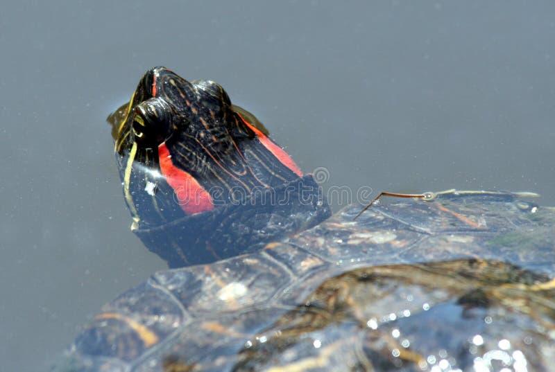 Röd örasköldpadda royaltyfri foto
