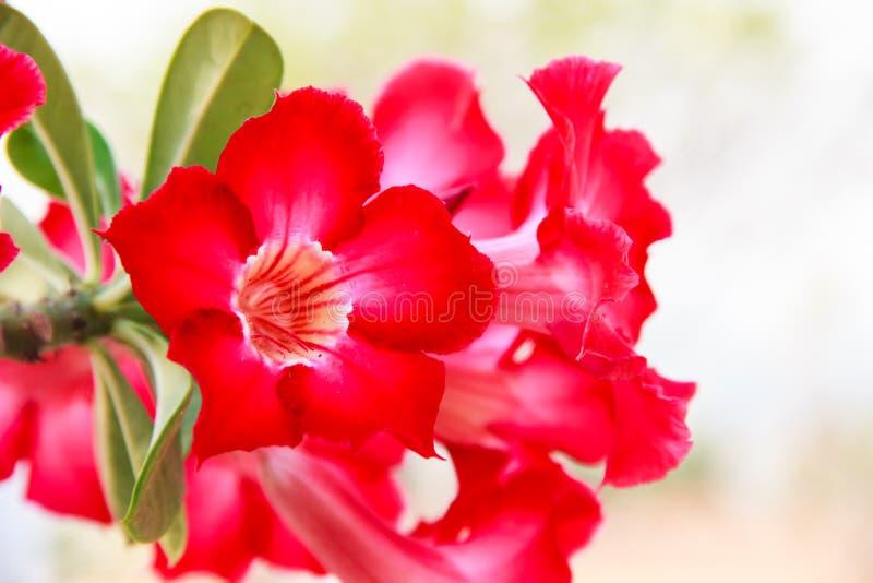 Röd Adeniumobesumblomma royaltyfria foton
