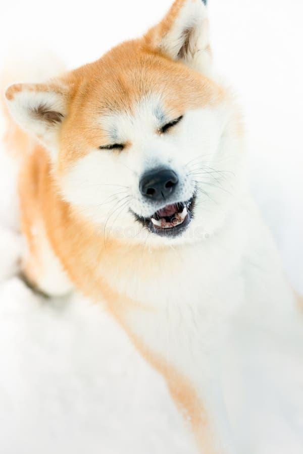 Röd Akita inuhund som spelar i snön royaltyfri fotografi