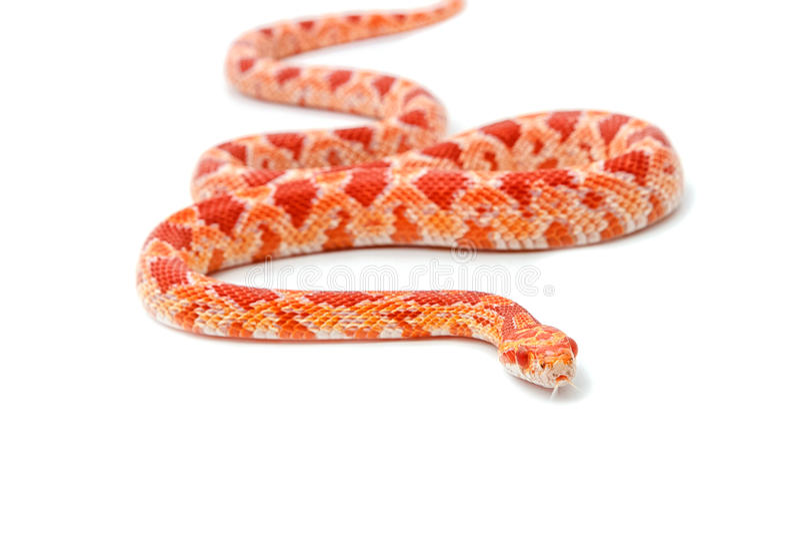 Röd albinohavreorm (tjalla Snakeon), arkivbilder