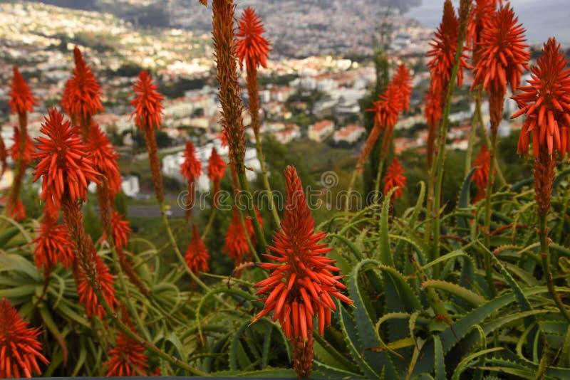 Röd aloe Vera Flowers i trädgård i Funchal på ön av madeiran royaltyfria bilder