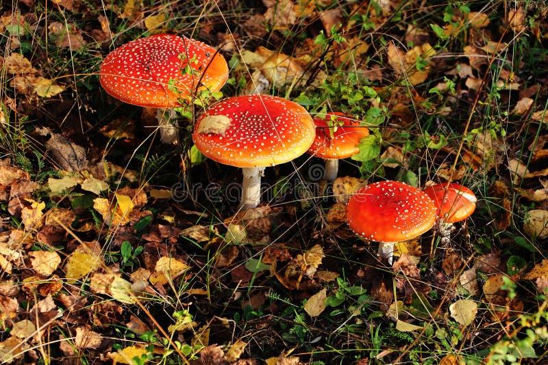 Röd Amanita för giftig oätlig champinjon fotografering för bildbyråer