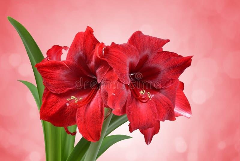 Röd amaryllisblomma royaltyfri fotografi