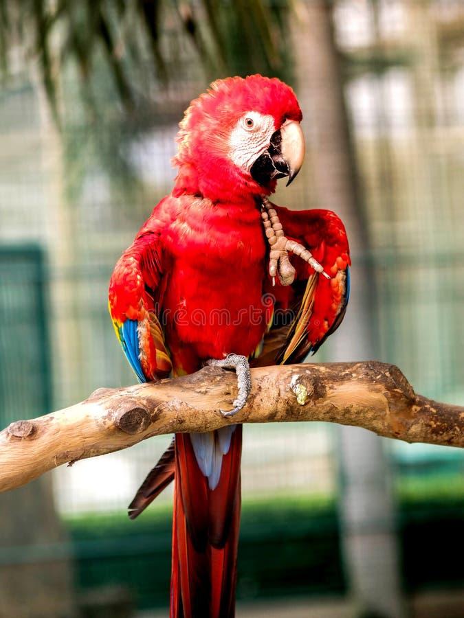 Röd arafågel royaltyfria foton