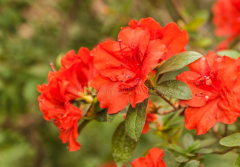 Röd azalearhododendron Appolo arkivfoto