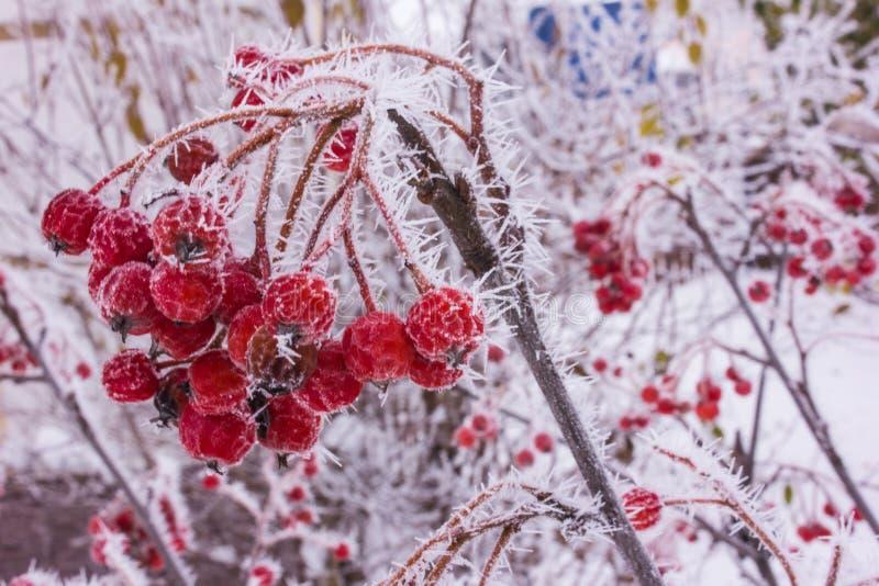 Röd bärrönn i rimfrost i frosten arkivbild
