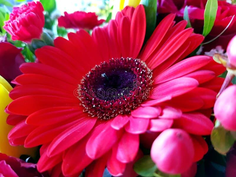 Röd bakgrund för sikt för gerberablommacloseup royaltyfria bilder