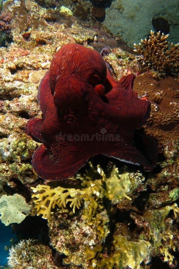 Röd bläckfisk över korallreven royaltyfria bilder