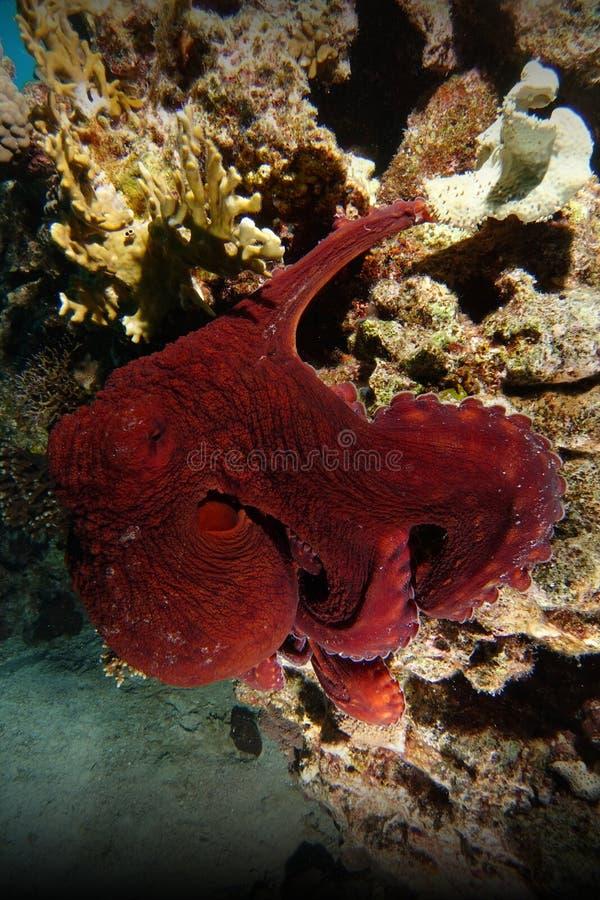 Röd bläckfiskklättring över korallreven royaltyfri fotografi