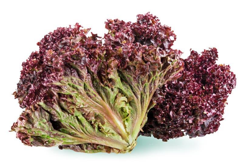 Röd bladgrönsallat royaltyfri bild