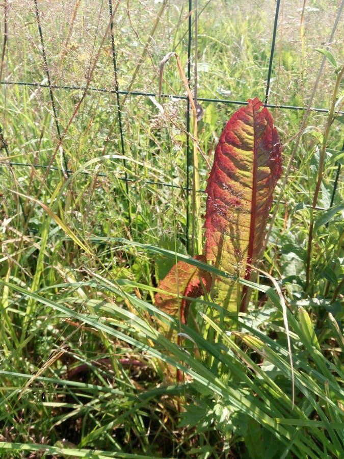 Röd bladmaskros torrt smutsa Brist eller överskotts av microelements arkivfoton