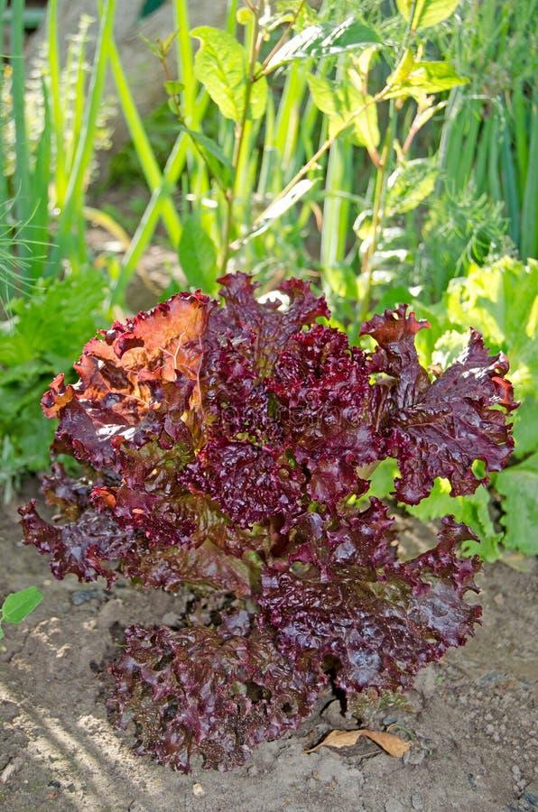 Röd bladsallad i trädgården arkivbilder
