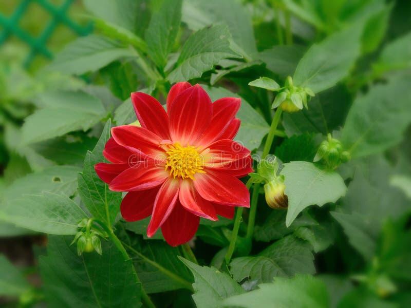 Röd blomma av ett dahliaslut upp mot bakgrunden av oklara gröna sidor arkivfoto