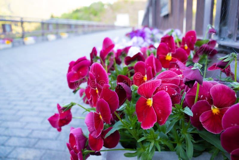 Röd blomma av Japan royaltyfri bild