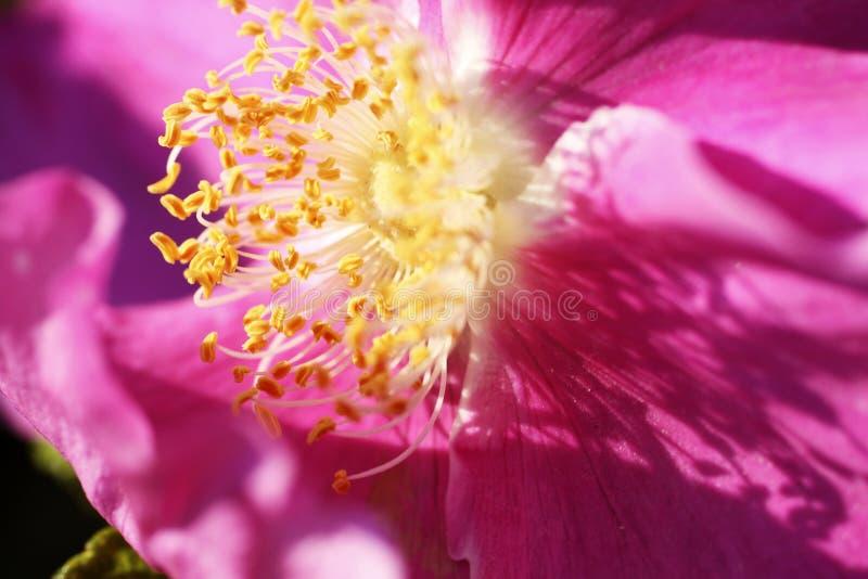 Röd blomma av rosa höfter under sommarblomningen royaltyfri fotografi