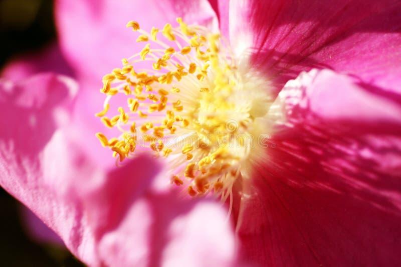 Röd blomma av rosa höfter under sommarblomningen fotografering för bildbyråer