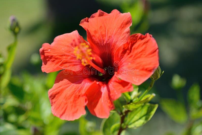 Röd blomma ett hibiskusslut upp mot bakgrunden av grön lövverk arkivbild